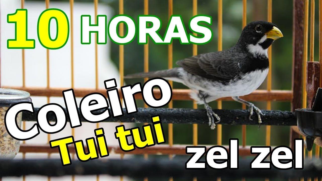 ZEL COLEIRO ZEL DE TUI BAIXAR TUI CANTO