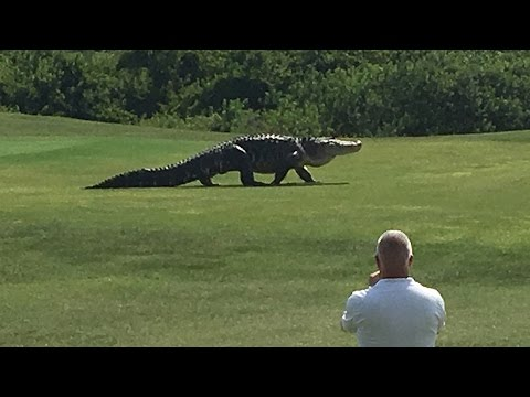 Giant Gator Walks Across Florida Golf Course Golf Com Youtube