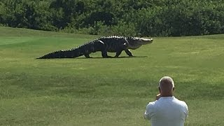 giant gator walks across florida golf course   golf com