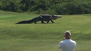 Giant Gator Walks Across Florida Golf Course   GOLF.com