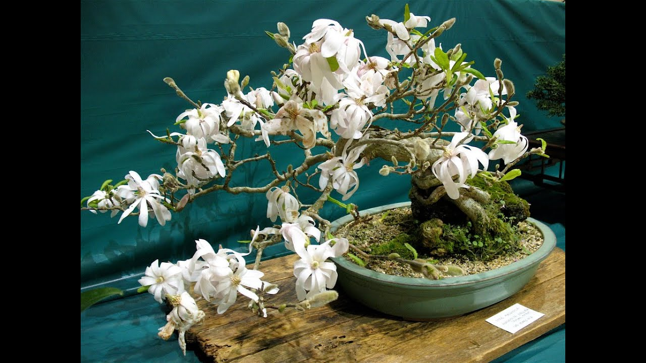 Magnolia Stellata Bonsai Youtube