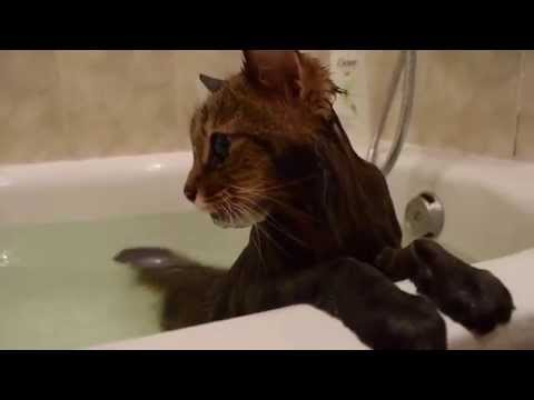 Swimming cat Maine Coon in bath