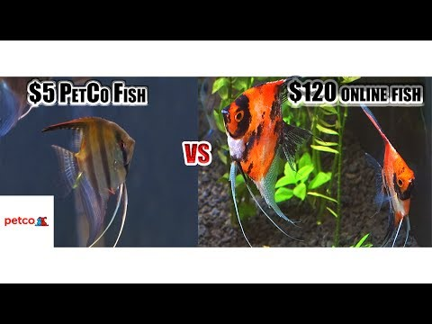 $5 Dollar Petco Fish VS $120 Dollar Fish From Online!