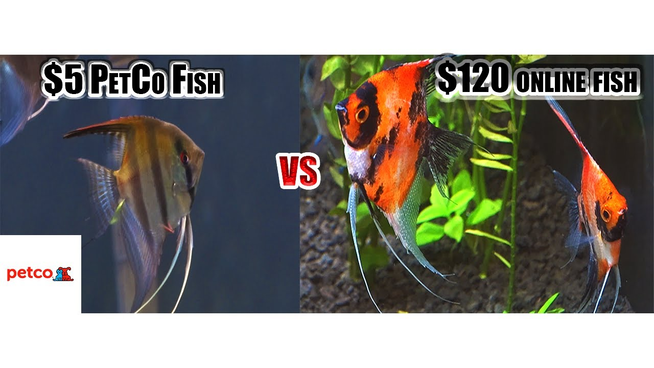 5 Dollar Petco Fish Vs 120 Dollar Fish From Online Youtube