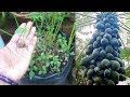 Grow papaya from seed & get Good Quality Fruit Plant | पपीते को बीज से उगाने का सही तरीका