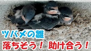 羽ばたきの練習中に巣から落ちそうになる雛。 羽ばたき練習を助ける雛。...