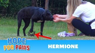 Video Hermione stepped on a cruel coyote trap and suffered for days until a miracle happened! download MP3, 3GP, MP4, WEBM, AVI, FLV Agustus 2018