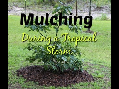 Mulching During Tropical Storm Cindy