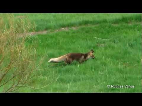 Zorro cazando topillos (Vulpes vulpes) Red fox