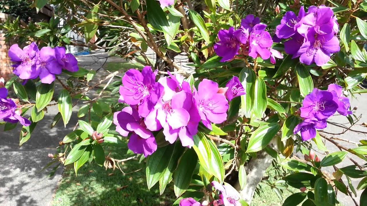 Tibouchina semidecandra princess flower lasiandra glory bushes HD 04