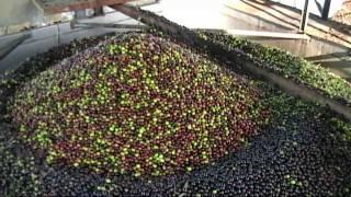 Almazara San Isidro, proceso del Aceite puro de Oliva virgen extra.