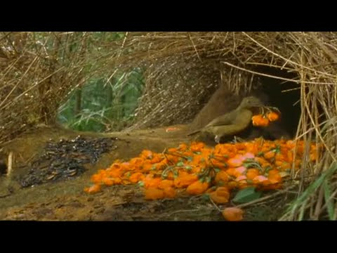 How to Attract a Bird! - Battle of the Sexes in the Animal World - BBC Earth - BBC