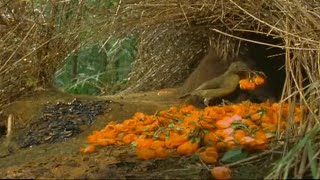 How to Attract a Bird! | Battle of the Sexes in the Animal World | BBC Earth | BBC