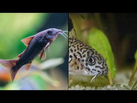 Types Of Catfish,Cory Catfish,armored Catfish,electric Catfish,Clarissa Catfish,shark Catfish