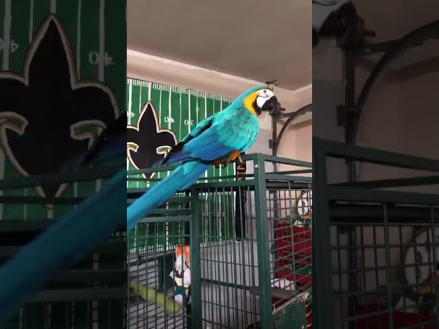 wheezy-the-who-dat-parrot