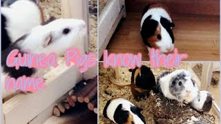 How To Teach Your Guinea Pig His Name