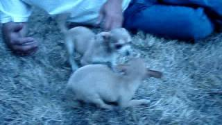Chihuahua Girls Available Http://www.chihuahua-puppies.net