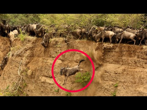 Masai Mara River Crossing Migration|Crossing of Wildebeest Across the Crocodile-Infested Mara River