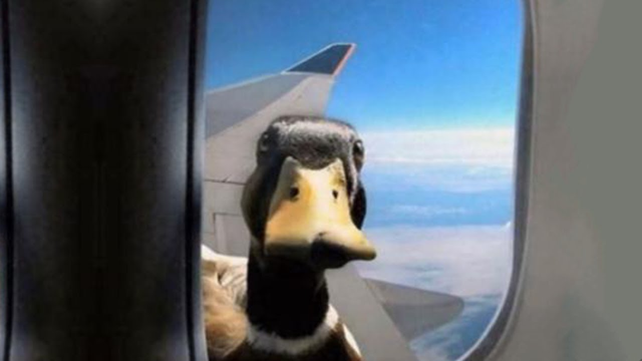 quackers the duck has memes for you