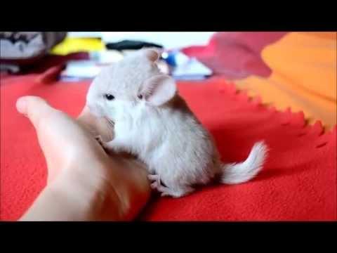 Bébé chinchilla femelle Blond : Doli