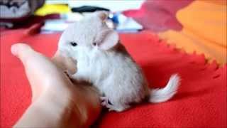 Baixar Bébé chinchilla femelle Blond : Doli
