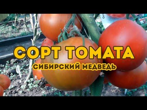 Сорт томата Сибирский Медведь! Полный обзор сорта