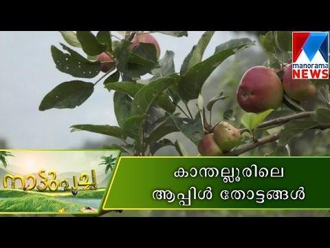 Apple orchards of Kanthalloor  |  Manorama News | Nattupacha