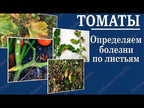 Болезни томатов.  Как определить заболевание томата по листу