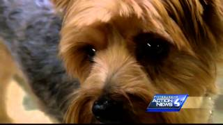 Adopted Yorkie Put Up For Sale Returned To Animal Rescue League