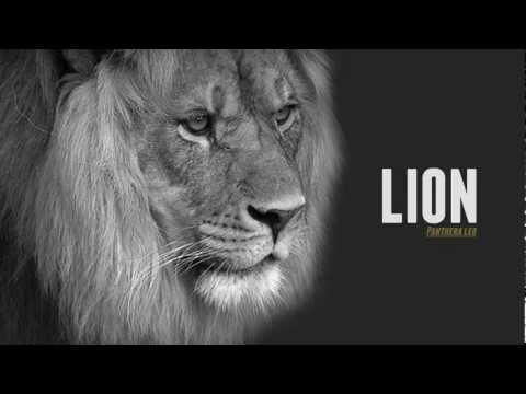 Lion Vs Tiger - Comparison & Facts