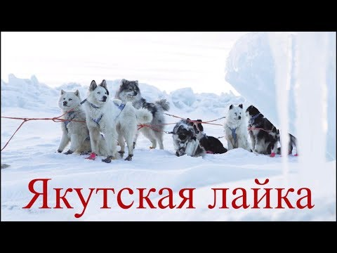 Якутская лайка.