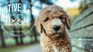 Goldendoodle Puppy Advanced Obedience Training (Cali)