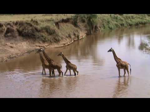 Thumbnail: GIRAFFES CROSSING THE MARA RIVER.mpg