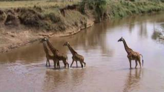 Giraffes Crossing The Mara River.mpg