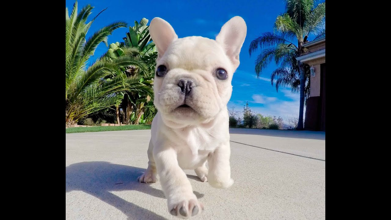Quinn the gorgeous Cream color AKC French Bulldog Male Puppy For Sale