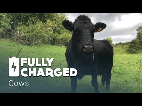 Cows | Fully Charged