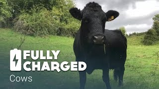 Cows   Fully Charged