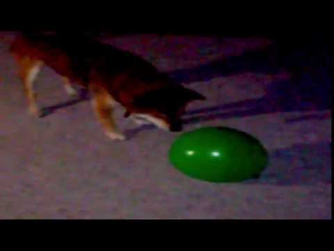Dog Playing With Balloon