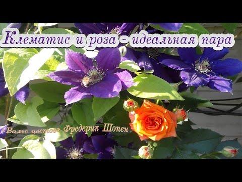 КЛЕМАТИС И РОЗА - идеальная пара «Вальс цветов» Ф. Шопен