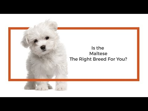 Is the Maltese the right breed for me?