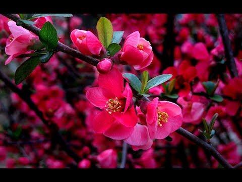 Японская красавица Сакура, выращивание, уход