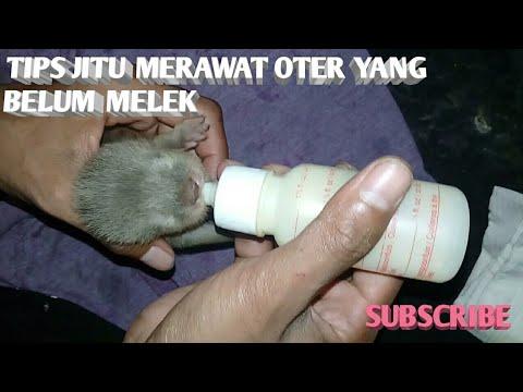Adopsi Otter, BABY OTTER MINUM SUSU, cara merawat bayi otter.