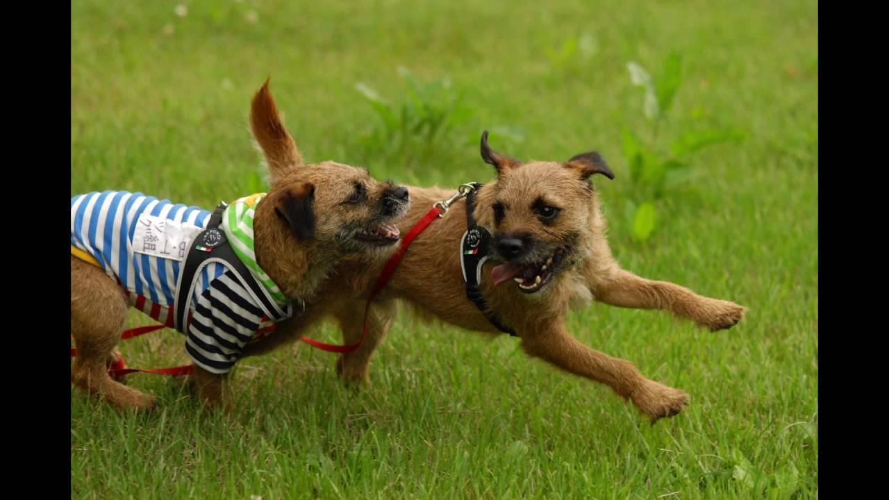 Image result for border terrier 犬   スキップする