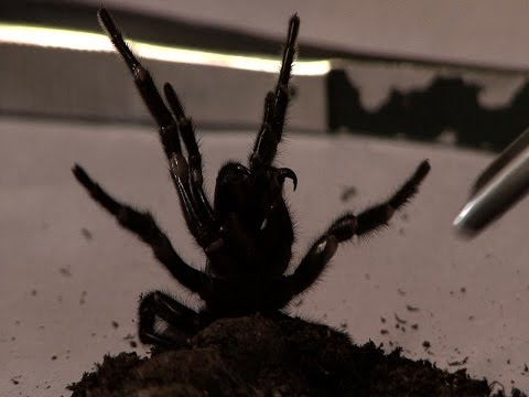 Milking a deadly FunnelWeb Spider  Pt 2