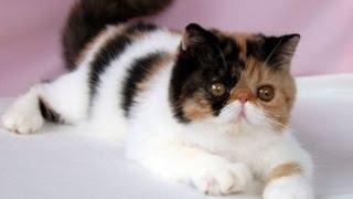 Окрас экзотических кошек (экзотов)