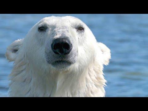 Polar Bear Goes After A Young Beluga Calf
