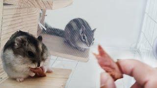햄스터와 다람쥐에게 오리고기를 줘봤습니다.