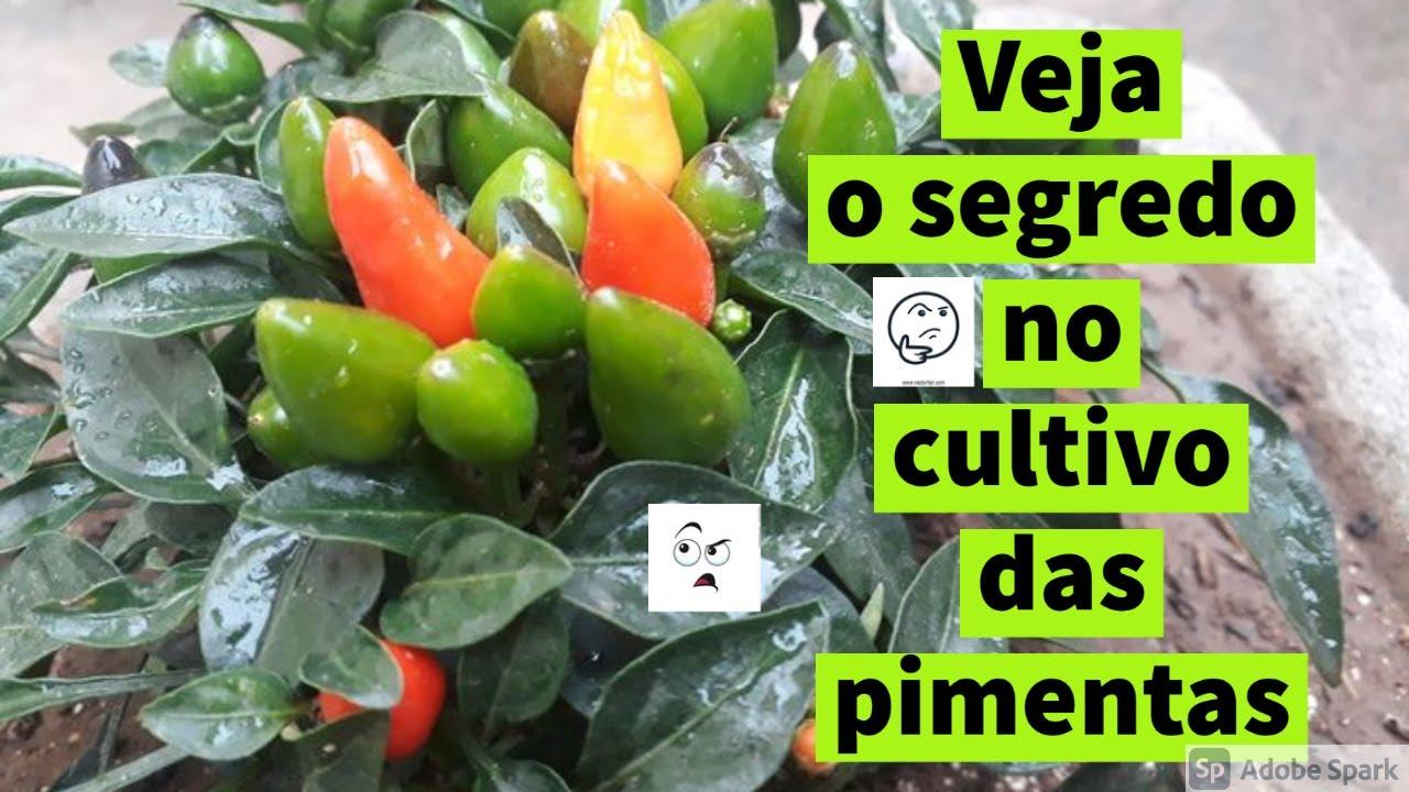 Como Plantar Pimenta da semente até o fruto veja nesse video