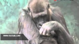 Горилла в Московском зоопарке родила детеныша(http://www.mosobltv.ru/ В Московском зоопарке пополнение. Несколько дней назад самка гориллы родила детеныша. Новоро..., 2013-10-08T19:48:27.000Z)