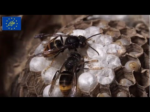 LIFE STOPVESPA Life for the Bees ITA - documentario completo